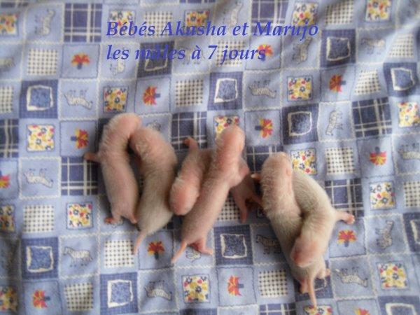 les bébés d'Akasha et de Marujo à 7 jours