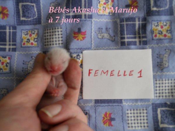 les bébés d'Akasha et de Marujo à 7 jours FEMELLE 1