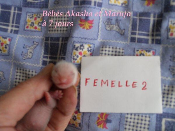 les bébés d'Akasha et de Marujo à 7 jours FEMELLE 2