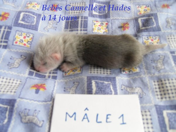 les bébés de Cannelle et Hades à 14 jours MÂLE 1