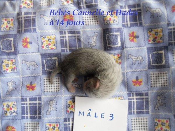 les bébés de Cannelle et Hades à 14 jours MÂLE 3