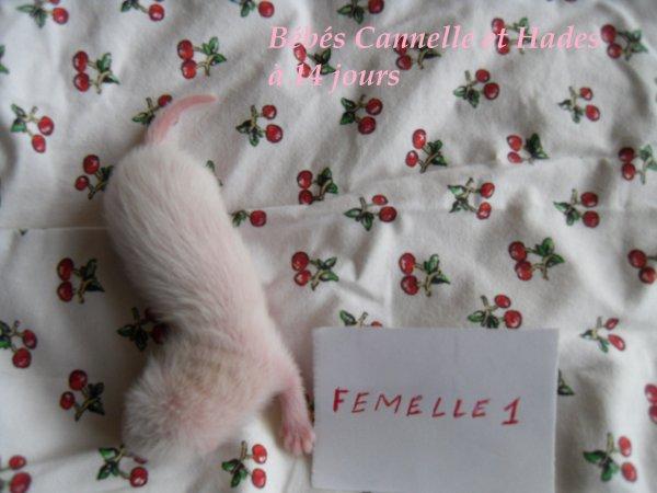 les bébés de Cannelle et Hades à 14 jours FEMELLE 1