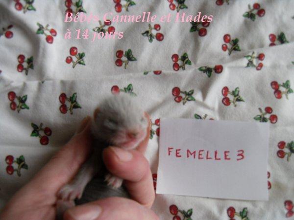 les bébés de Cannelle et Hades à 14 jours FEMELLE 3