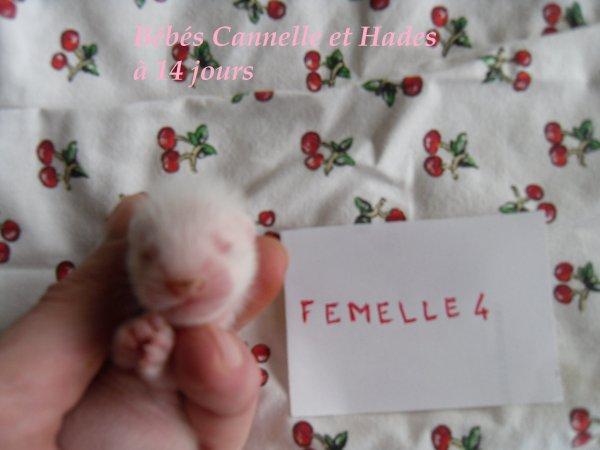 les bébés de Cannelle et Hades à 14 jours FEMELLE 4
