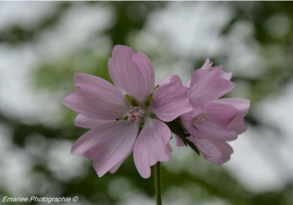 . Fleur .