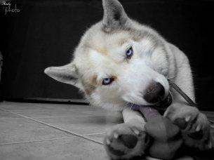 Antka la mere de mon futur petit chien ( 1 Huysky Siberien ) Ma race pref <3