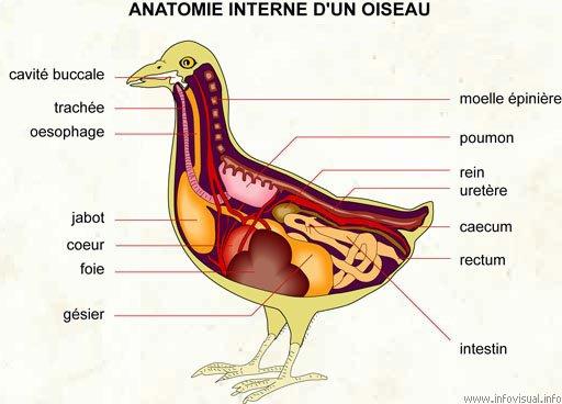 Anatomie interne d'un oiseau