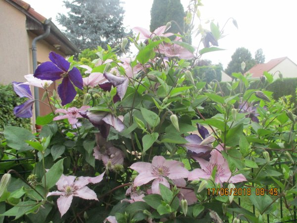 MES CLEMATITES