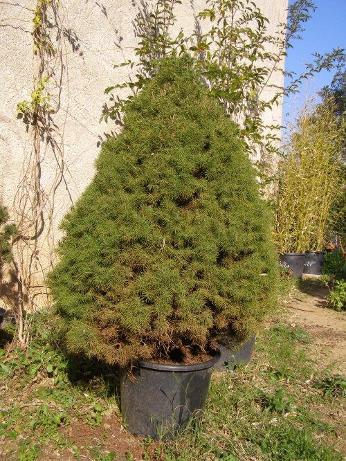 "Picea abies "" Albertina conica "" trouvé en jardinerie"