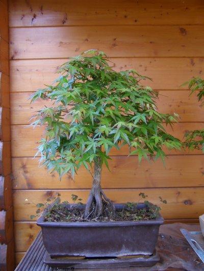 Erables du Japon ( acer palmatum et burger )