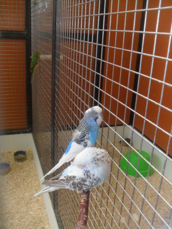 mon nouveaux couple d oiseaux