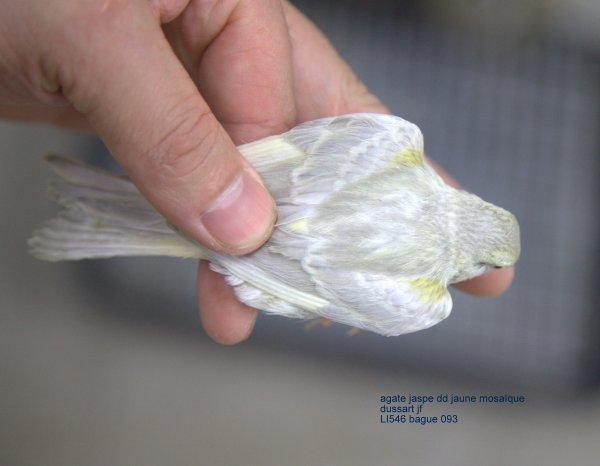 femelle agate jaspe dd jaune mosaïque