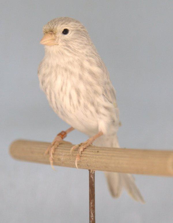 une belle petite jaspe blanc récessif ET NON JAUNE MOSAÏQUE/BLANC !!!