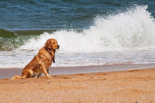 Photo de mon magnifique labrador sur la plage