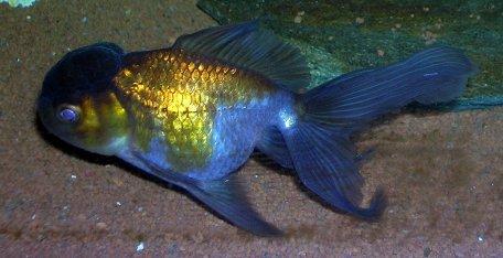 Les race de poisson rouge oranda chocolat blog de for Gros poisson rouge