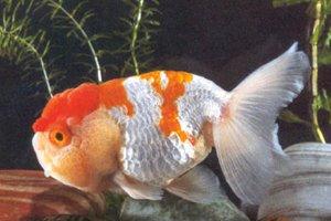 Les race de poisson rouge le t te de lion blog de for Poisson rouge japonais