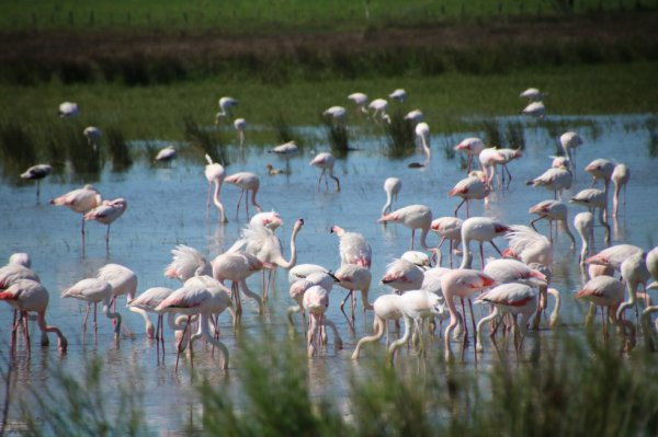 les flamand roses