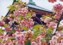 Photo de Japan-Sakura