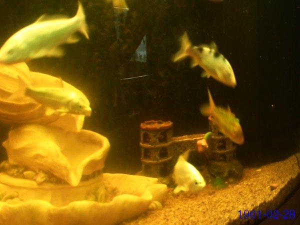 mes carpe koi dans mon aquarium de minimoysdu62980