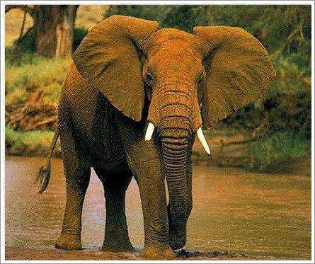 Le plus gros mammifère terrestre