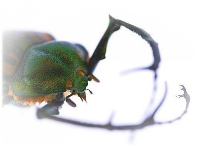 Le plus gros insecte