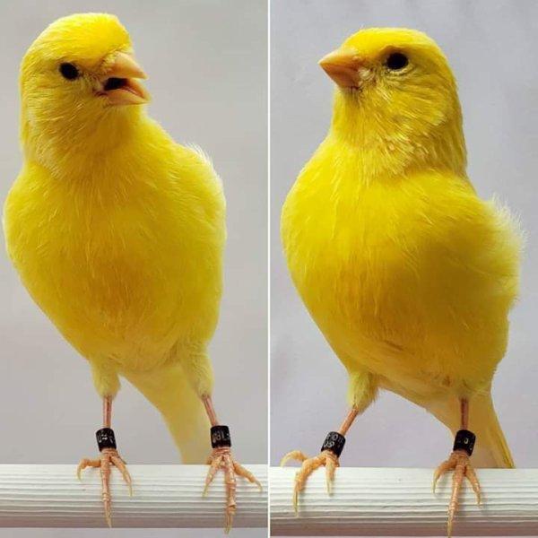 كناري أصفر
