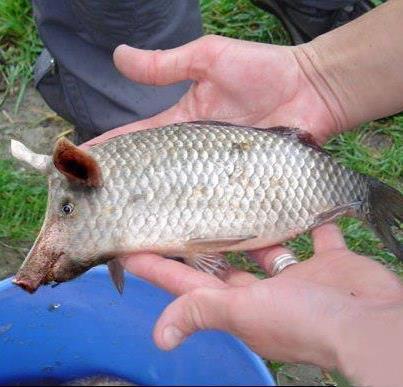 Attention retour des farines animales pour nourrir les poissons d'élevage....... Bientôt on bouffera des poichons......            avis a tous les pecheur
