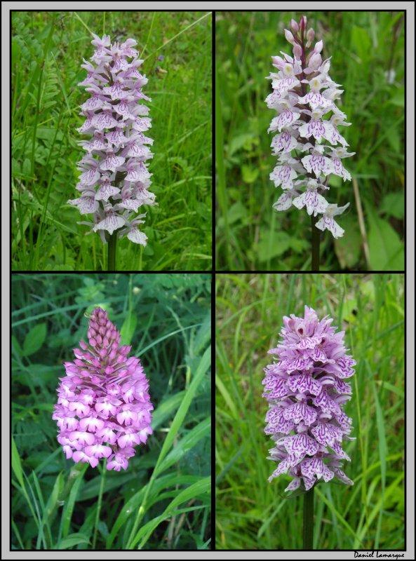 Orchidées sauvages Juin 2011 ( Ariège 09)