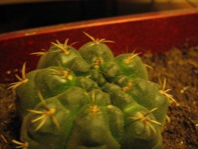 Gymnocalycium baldianum ?