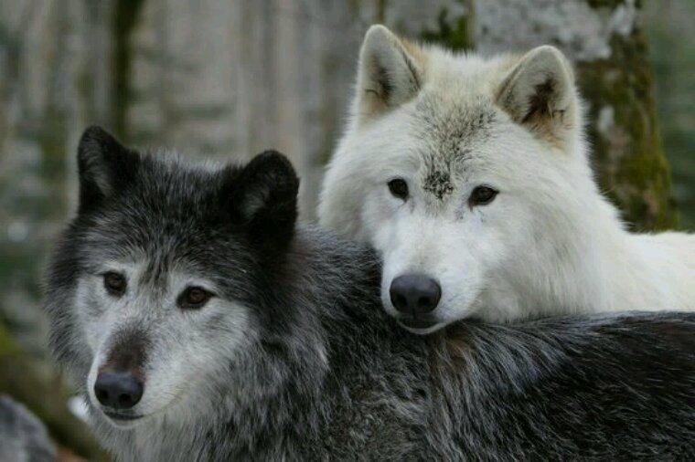 Le loup solitaire te fais de nouveau un kdo pour toi, amie !!