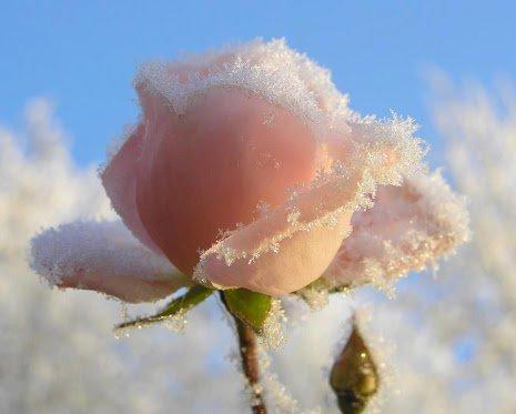 La Rose de Glace