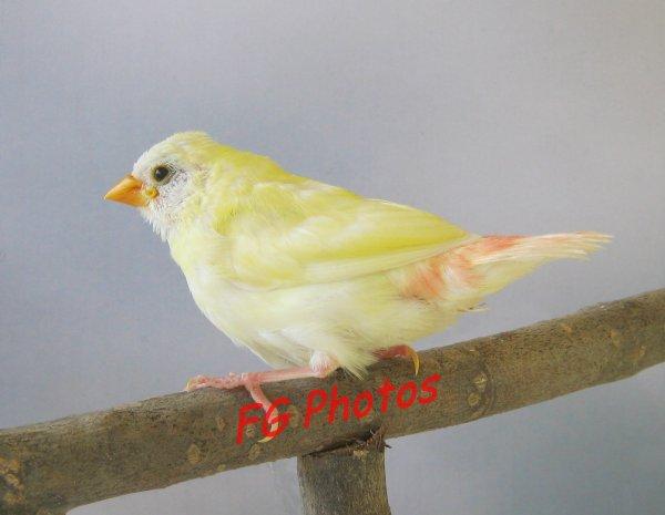 Autre nichée Kittlitz jaune