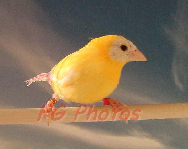 Jeune mâle jaune 06/16