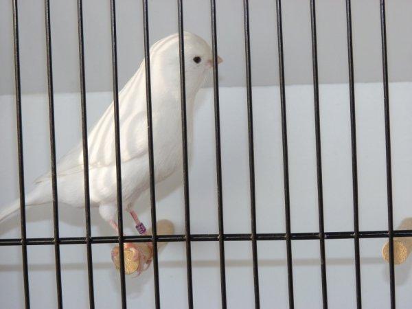 blanc lumineux, belle ligne de dos, bonne poitrine, plume serrée, belle posture sur le barreau...