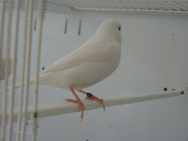 Il a déjà une belle plume bien courte et soyeuse sur les flancs...