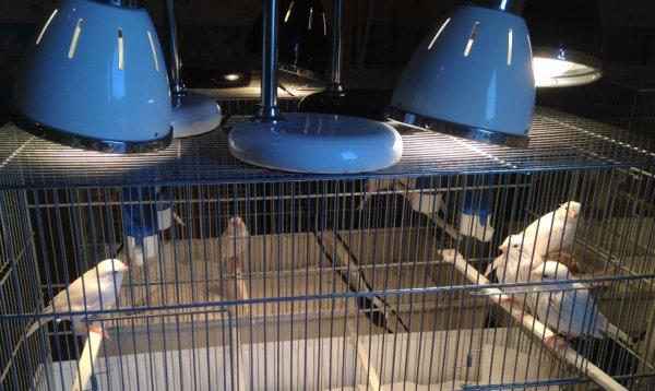 séchage des oiseaux sous lampes infra rouge-phase 3