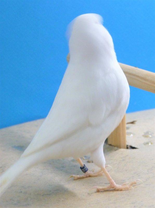 même oiseau : belle forme et ligne de corps tout en rondeur