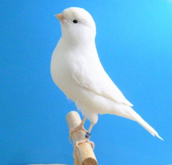 Le canari blanc récessif : un canari de posture aussi !