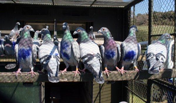 Les pigeons voyageurs utilisent la «carte mentale» pour trouver leur chemin