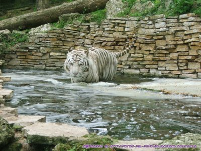 tigre du zoo de beauval (dans la loire)