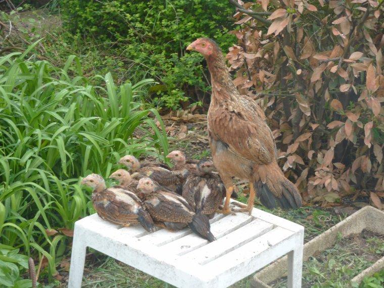 poule  REUNION  ET SES POUSINS