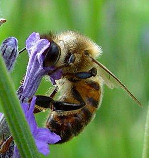 Signez pour la sauvegarde et la protection des abeilles