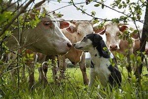 Article 7 : La vache et le chien (Apologue)
