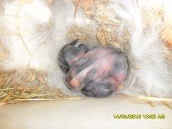 une naissance de 2 bebes lapinous angora nain aux soreilles droites parents maman fifie et papa junior