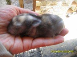 nouvelle fotos du 1 bebes de fifie et junior angora nain a 4 jour