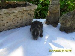 nouvelles fotos du 2 bebes de fifie et junior angora nain a 9 jour