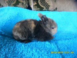 1 bebe de fifie et junior angora nain  a 17 jour