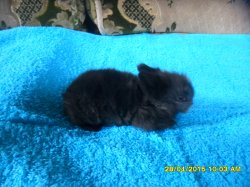2 bebe de fifie et junior angora nain  a 17 jour