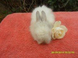 nouvelle fotos des 3 bébé de dory et simba angora nain a 3semaine