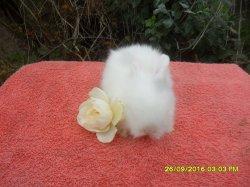 2 bébé de dory et simba angora nain a 3 semaine
